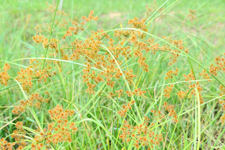 yellow green flower of Thai sedge, papyrus, natural fiber growing in natural wetland can be processed for use as raw materials for many sorts of traditional hand craft work in Thailand and asia. photo