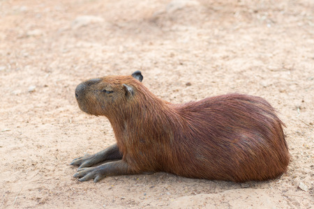 largest: The capybara is the largest rodent sleeping on ground