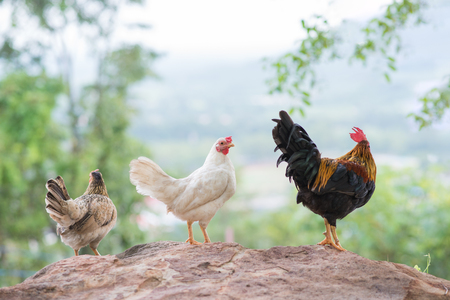 bantam hen: Group of  bantam chickens on stone Stock Photo