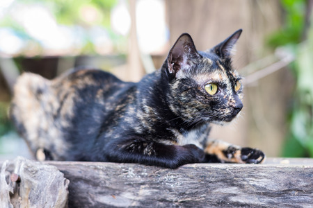 stargaze: Close up thai black cat serious looking cautious on old wood