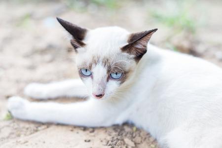 stargaze: White Thai Cat color blue eye