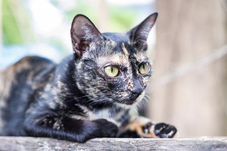 stargaze: Close up thai black cat serious looking cautious