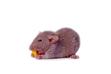 Young Rat with seed