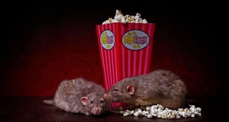 Rats eat popcorn Stok Fotoğraf