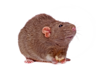 Rat eat bread isolated on white