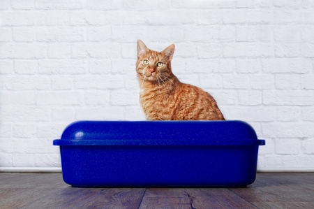 Ginger cat in blue plastic litter box