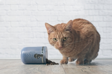 Tabby cat caught while stealing food from a open food container. Stock Photo