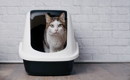 Tabby cat sitting in a litter box and looking to the camera. 写真素材