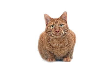 Cute ginger cat looking up to the camera - isolated on white.