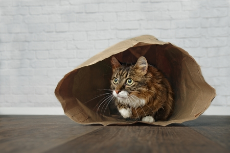 Cute Maine Coon sitting in a paper bag and looking to the side. Standard-Bild - 106914198