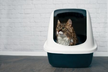 Junge Maine-Waschbärkatze, die in einer geschlossenen Katzentoilette sitzt und seitwärts schaut.