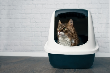 Young Maine Coon cat sitting in a closed litter box and looking sideways. Stock Photo