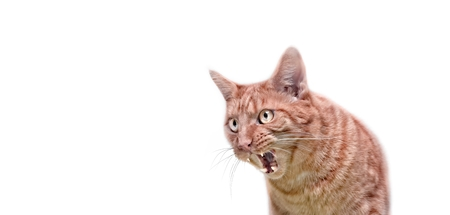 Angry ginger cat looking sideways and hissing with mouth open.