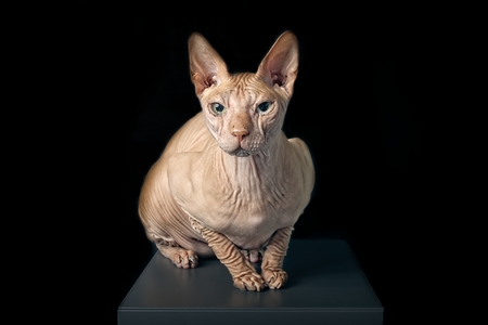 Portrait of a sphynx cat isolated on black background. Foto de archivo - 117301127