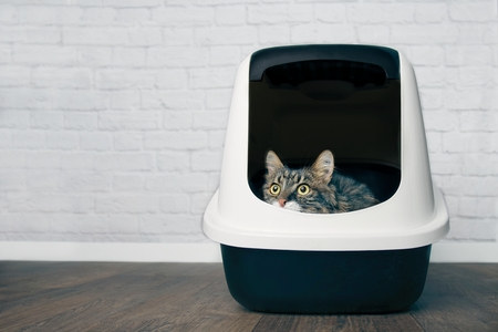 Cute Maine Coon Cat sitting in a closed litter box and looking out curiously. Stockfoto
