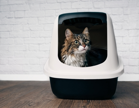 Cute maine coon cat sitting in a closed litter box and looking curious sideways.