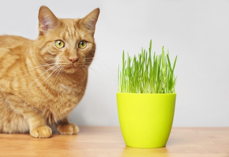 Cute ginger cat looking curious on a flower pot with cat grass. Horizontal image with focus on foreground.