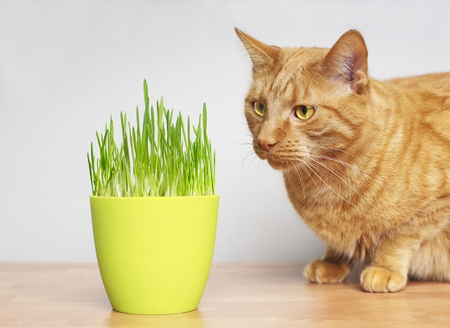 Cute ginger cat looking curious on a pot of cat grass.