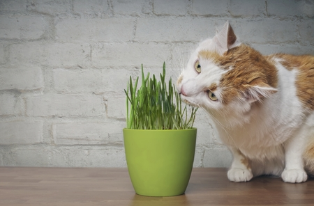 Cute tabby cat looking curious on a flower pot with cat grass. Imagens
