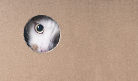 Tabby cat looks curious out of a hole in the cardboard box. Horizontal image with copy space.