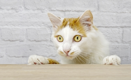 Cute tabby cat looking curious at the table. Horizontal image with copy space. 免版税图像