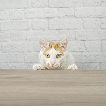 Curious tabby cat looking for food at the table. Square image with copy space.
