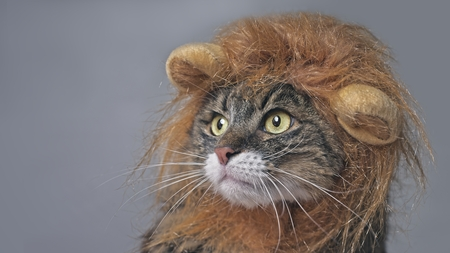 Funny maine coon cat in lion costumes looking sideways. Isolated on gray with copy space.