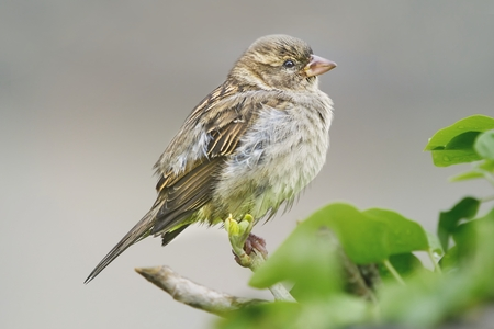 Close-up of a Sparrow song perched on a branch.