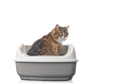 Cute longhair cat sitting in a open litter box and looking away. Iisolated on white background with copy space. 免版税图像