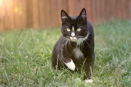 Cute tuxedo tom cat on a meadow. 版權商用圖片