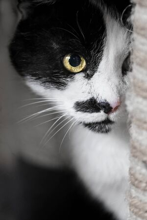 Cute tuxedo cat hiding behind a scratcher. Vertical image with soft focus.