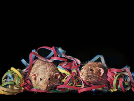 Closeup of two rodents sitting in the middle of streamers - Isolated on black background