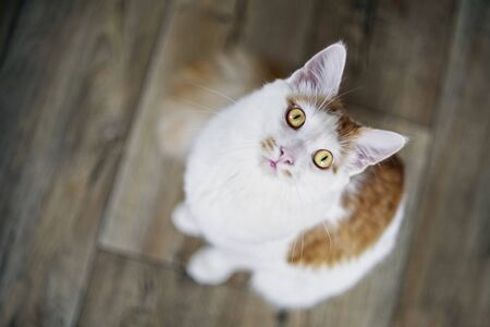 Cute long haired cat looking up curious to the camera. 版權商用圖片