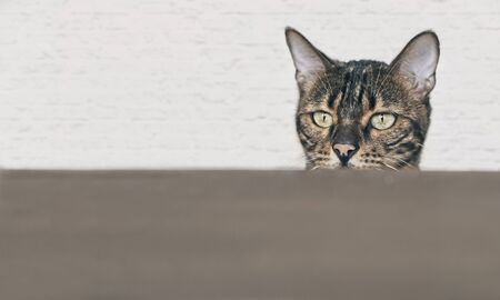 Curious bengal cat searching for food at the table. Horizontal image with copy space.