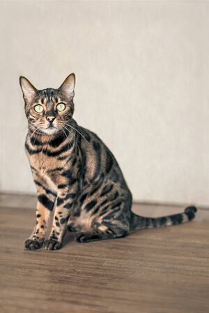 Cute bengal cat sitting and looking curious to the camera. Vertical image with soft focus.