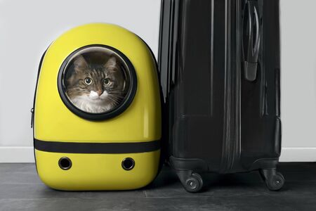 Maine coon cat looking out of a backpack suitcase next to a suitcase. Archivio Fotografico