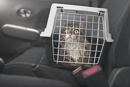 Cute Maine coon cat in a pet carrier stands on the passenger seat in a car. 版權商用圖片