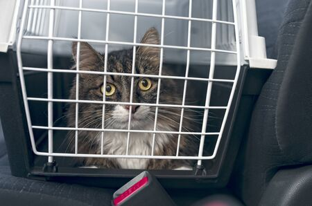 Tabby cat in a pet carrier stands on the passenger seat in a car. 版權商用圖片