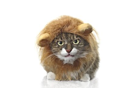 Longhair cat dressed up as a lion grumpy to the camera. Isolated on white background. 版權商用圖片