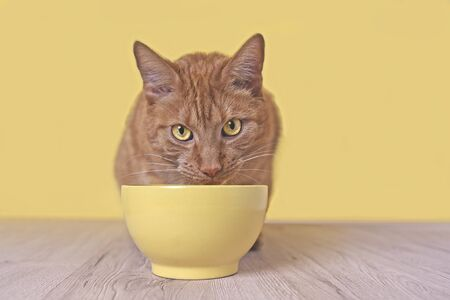 Ginger cat beside a yellow food bowl looking up and waiting for food.