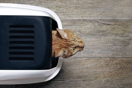 Cute ginger cat looking curious out of a closed litter box, seen directly from above. 版權商用圖片