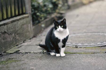 Cute tuxedo cat sitting outdoors and looking at camera. 版權商用圖片