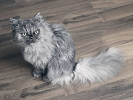 Cute persian cat looking up to the camera.