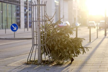 Discarded christmas tree after the holiday against backlight. 版權商用圖片
