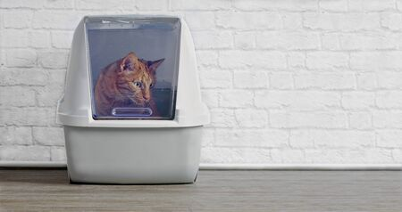 Ginger cat in a closed litter box looking curious sideways. 版權商用圖片