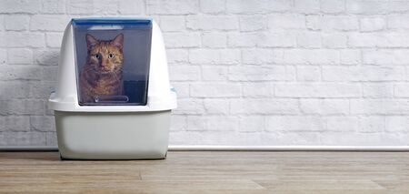 Ginger cat in a closed litter box looking curious to the camera. Panoramic image wih copy space. 版權商用圖片
