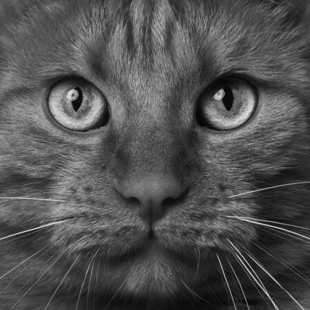Extreme close-up of a tabby cat looking to the camera. Black and white image.