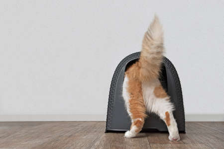 Funny tabby cat step inside a closed litter box. Horizontal image with copy space.