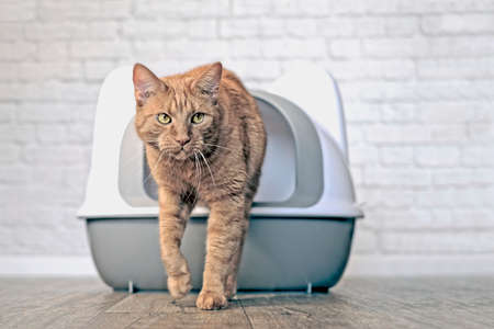 Cute ginger cat going out of a litter box. Horizontal image with soft focus. Reklamní fotografie