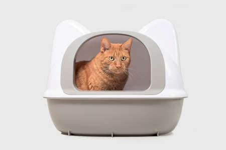 Cute red cat sitting in a closed litter box and looking away. Isolated on gray with copy space.